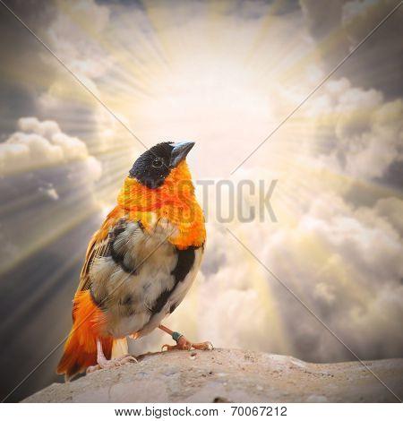 Little birdie (Euplectes orix) singing against sunny sky.