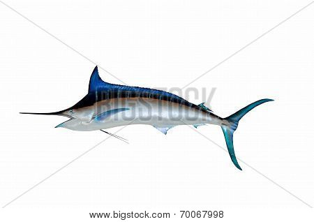 Great Blue Marlin