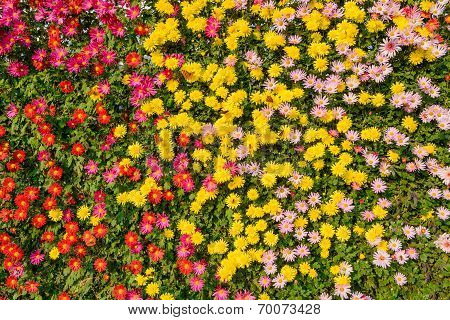 Calendula or marigold background