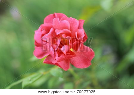 close up of reddish flower