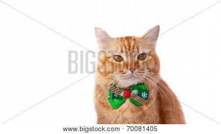 Annoyed cat in Christmas bow