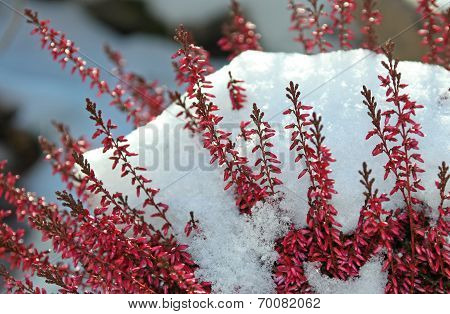 Blooming Calluna Vulgaris With Snow Cover