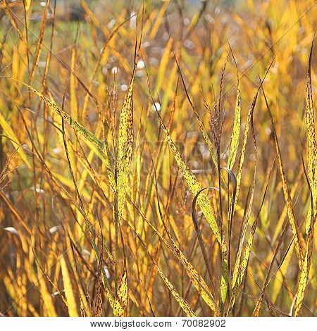 Back Lighted Golden Grass Weed In The Wetlands