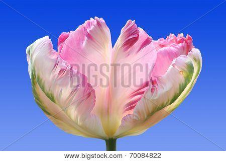 Beautiful Parrot Tulip, Tricolor, Against Blue Sky
