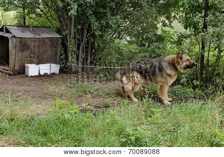 Thoroughbred dog on the nature guard country house