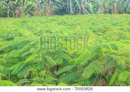 Acacia Pennata Tree Farm