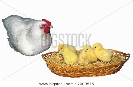 Hen And Chichens