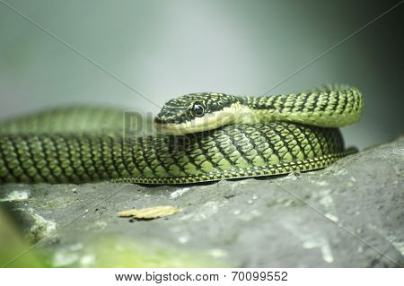 Close Up Golden Tree Snake