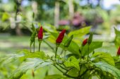 foto of chillies  - A chilli tree have green color chillies and red color chillies
