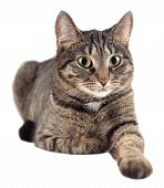 pic of tabby cat  - Portrait of tabby cat isolated on white background - JPG
