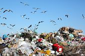picture of smelly  - Waste disposal site with seagulls and herons scavenging for food - JPG