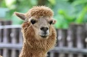 picture of alpaca  - Alpaca - JPG