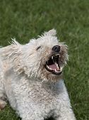 pic of rabies  - Angry white dog barking in the grass - JPG