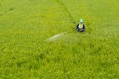 foto of pesticide  - farmer spraying pesticide in the rice field