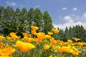 stock photo of conifers  - Bright yellow california poppy flower field in front of conifer forest - JPG