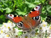stock photo of pubescent  - The butterfly peacock  - JPG