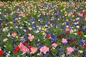 pic of viola  - picturesque springlike flowerbed with viola narcissus and tulips - JPG