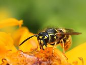 image of summer insects  - Wasp collecting nectar in colorful yellow summer flowers  - JPG