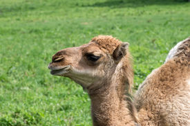 picture of camel  - Camels are even - JPG