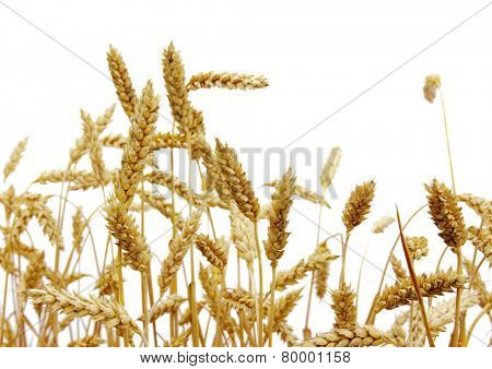 wheat isolated on a white background