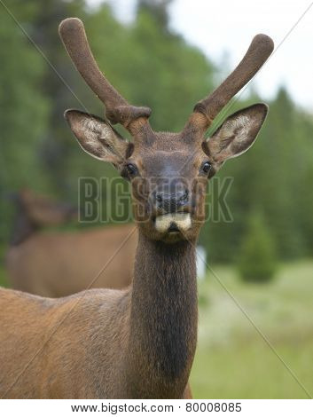 Red Deer Head With Green Background. Jasper. Canada