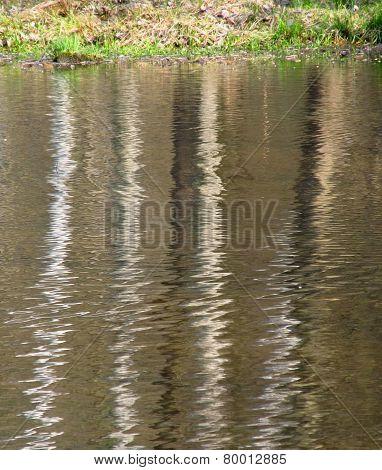 reflection of white trunks