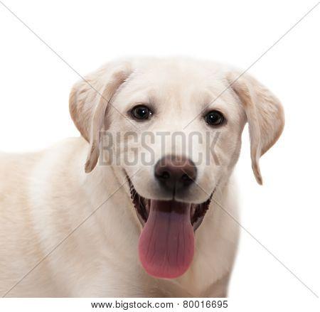 Puppy Labrador Retriever On White Background.