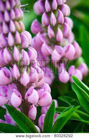 Lupin Flowers (lupinus)