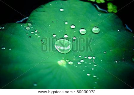 Raindrops on a lotus leaf/