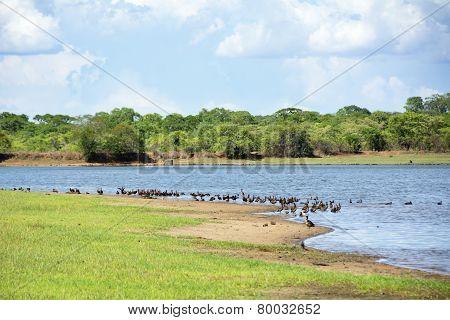 Flock of White-Faced Ducks next to Lifupa Dam in Summer, Kasungu National Park, Malawi