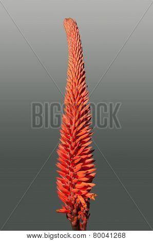 Aloe Flowers