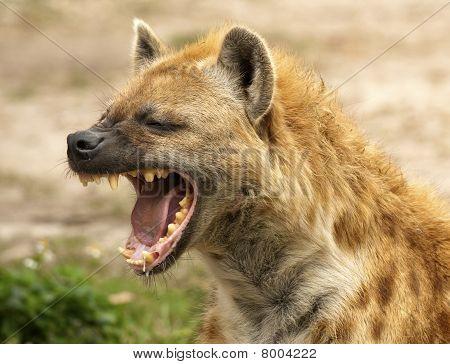Hyena Jaws