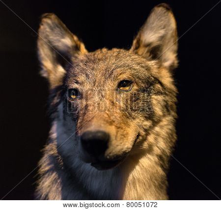 Dummy Face Of Gray Wolf On Black Background.