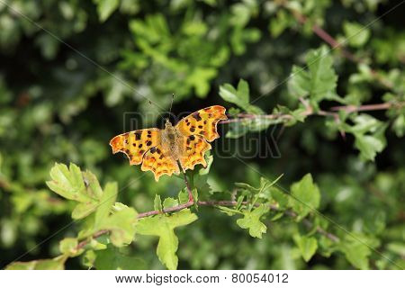 Colorful Comma butterfly