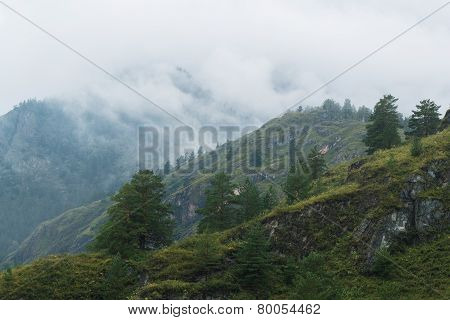 Fir trees in Altai Mountains