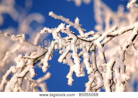 Birch Branches With Rime