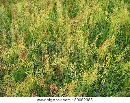 Thicket Of High Green Grass In The Field