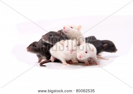 Baby Rats Climbing On Eachother