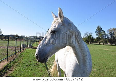 White Speckled Horse Profile