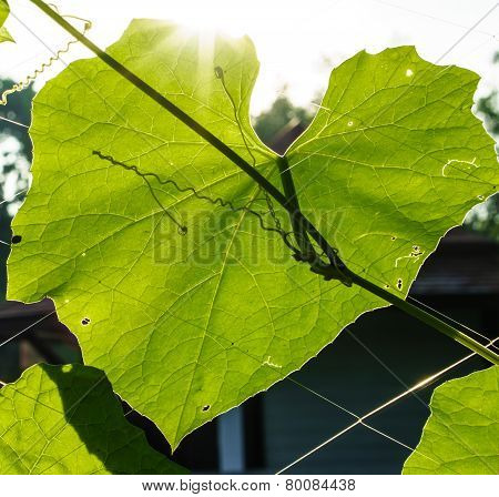 Close Up Of Heart Shape Of Leaf With Rim Light And Lens Flare