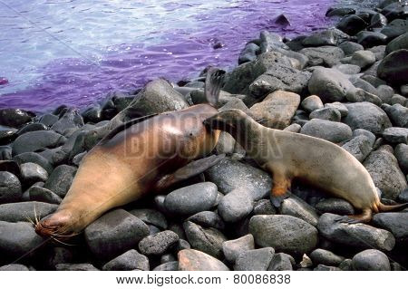 Sealion Pup Nursing Galapagos Islands