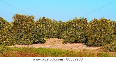 Florida Orange Grove Panorama