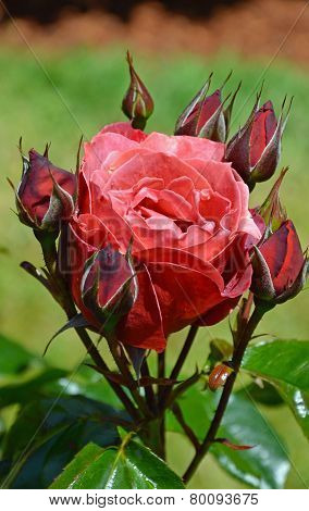 Deep Pink Rose And Rosebuds