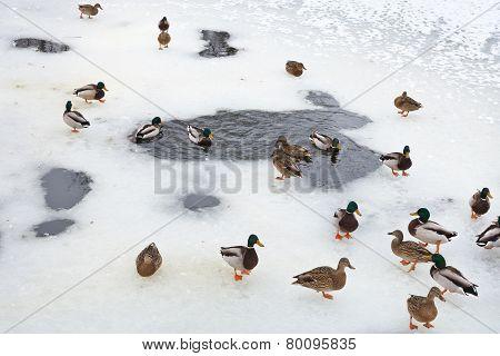 Flock Of Ducks Near Ice Hole In Frozen Lake