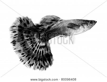 Black Guppy Fish Isolated On White Background