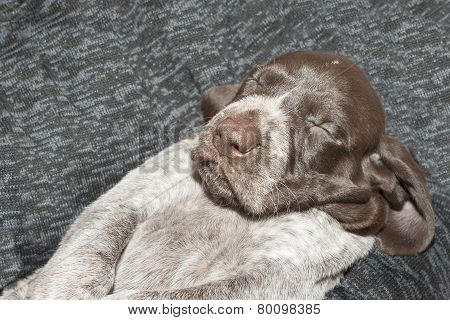 Contented sleep, German shorthaired pointer puppy, one month old