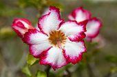 pic of desert-rose  - Impala lily or desert rose in the garden  - JPG