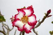 stock photo of desert-rose  - Impala lily or desert rose in the garden - JPG