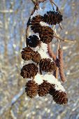 pic of alder-tree  - bunch brown alder cones covered with ice - JPG