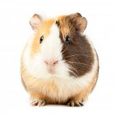 stock photo of gerbil  - brown guinea pig on white isolated  - JPG